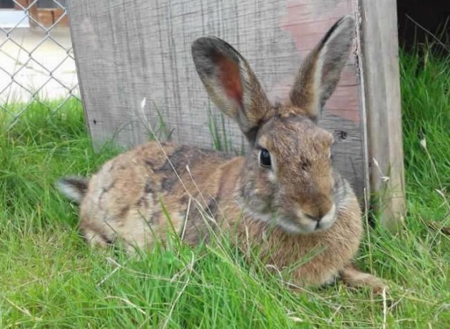 FURRY: Aspen, the rabbit was cared for at the RSPCA centre in West Hatch