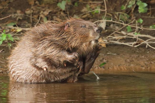 TRIAL: The Devon Wildlife Trust five-year trial has beavers living wild on an English river for the first time in centuries - but one went looking for love... PICTURE: Michael Symes/Devon Wildlife Trust/PA Wire