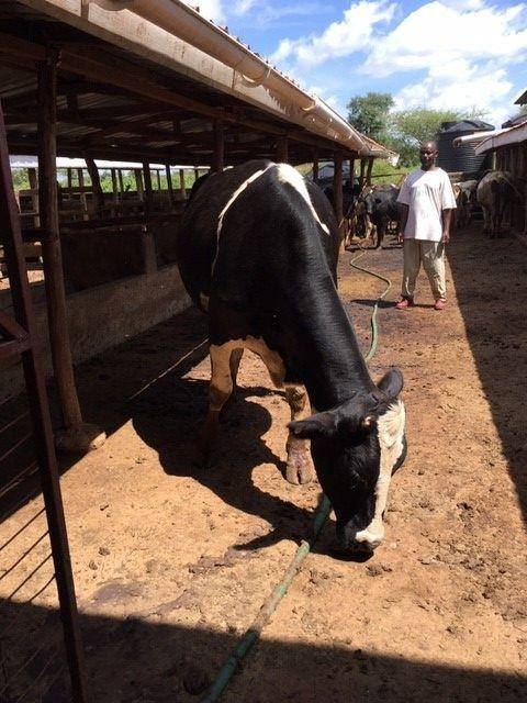 SURPRISE: The cow in Nairobi, funded by Cllr Linda Vijeh