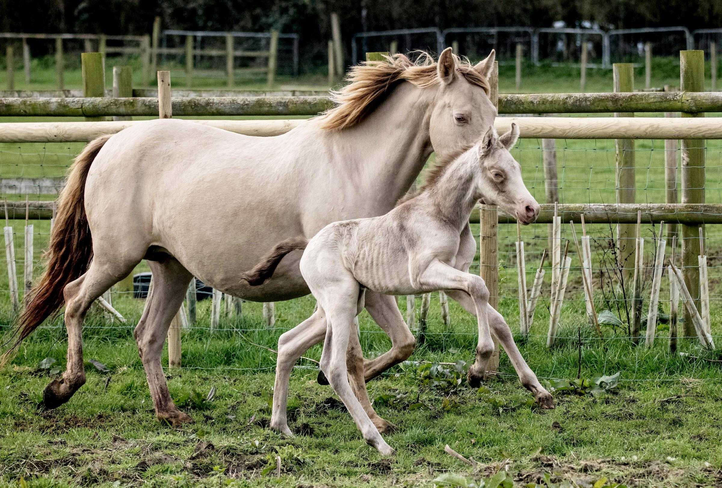 Adorable Pictures Of Rare Baby Foal Taking Its First Steps With Its Mother Chard Ilminster News