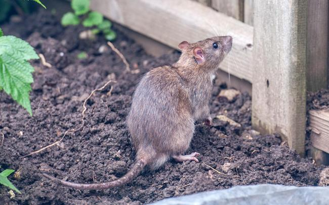 ON THE RAMPAGE: Rats in Somerset. Pic: Getty Images