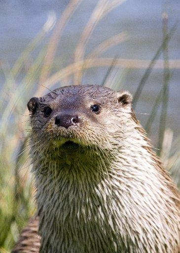 COMEBACK: An otter in Sussex. Picture by Stephen Bray