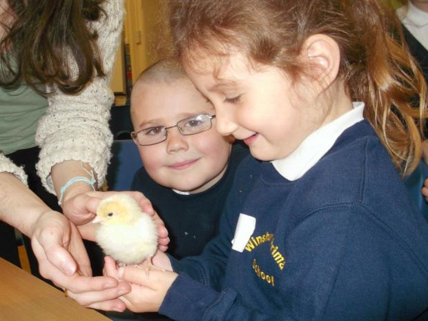 Winsham Primary School youngsters hold baby chicks