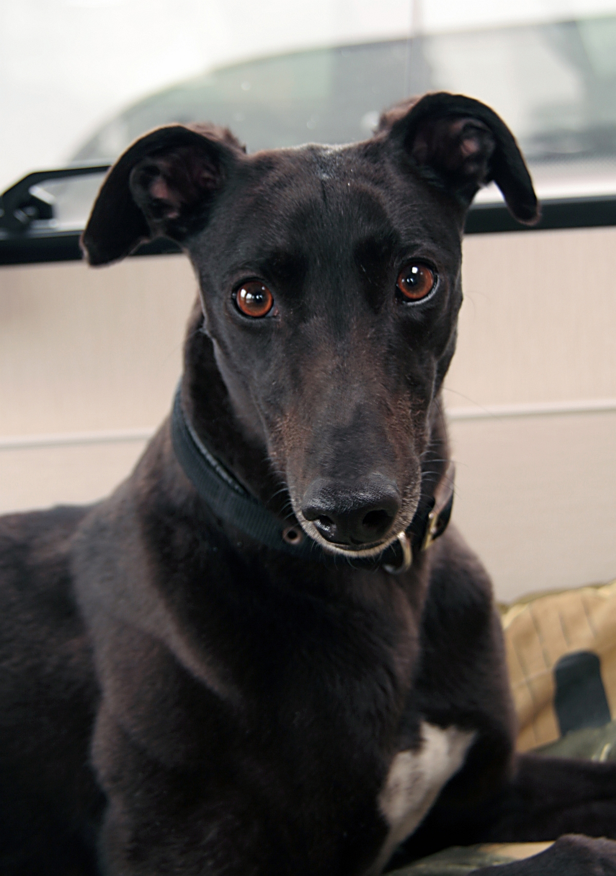 Adoption plea from Dorset & Somerset Retired Greyhound Trust