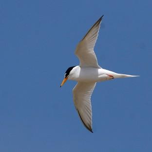 Little terns have been badly affected by recent severe weather conditions, the National Trust has war