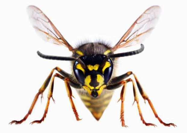 Chard & Ilminster News: A wasp
