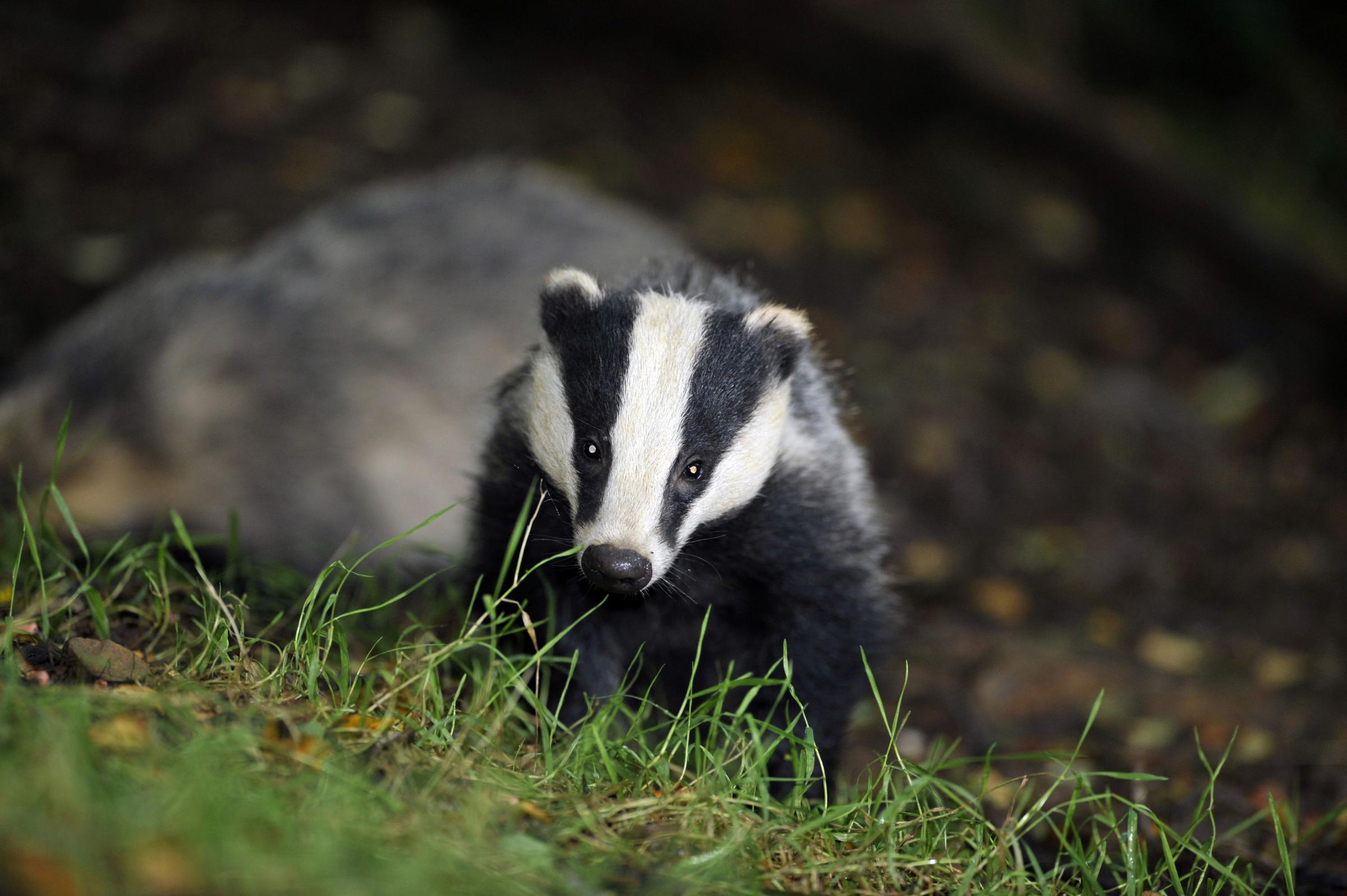 File photo of a badger. PIC: Ben Birchall/PA Wire.
