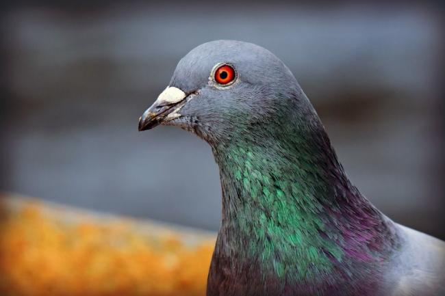 AT RISK: The dead birds showed no obvious injuries or signs of disease, leading to suspicions there was a pigeon poisoner on the loose
